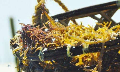 charakterystyka-alg-morskich